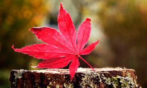 树桩上的红色枫叶高清摄影图片