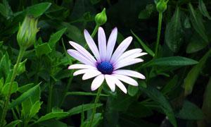 美丽的紫色雏菊花朵摄影图片