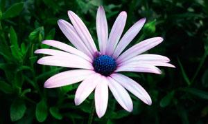 盛开的紫色雏菊花朵摄影图片