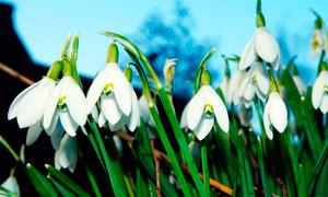盛开的斯诺德罗普花朵摄影图片