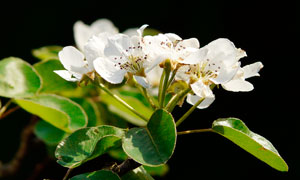枝头上盛开的梨花高清摄影图片