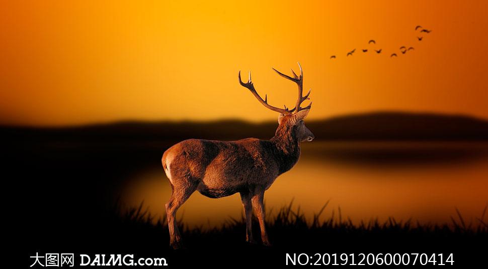 夕阳下在湖边的梅花鹿摄影图片