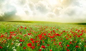 漫山遍野的罂粟花和菊花摄影图片