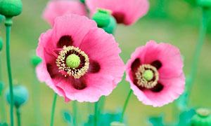盛开的罂粟花高清摄影图片