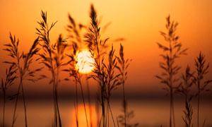 落日下的蘆葦叢高清攝影圖片