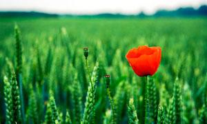 红色罂粟花美景摄影图片