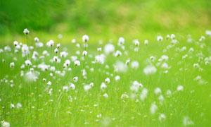 绿色草丛中的小白花摄影图片