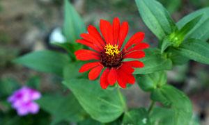 盛开的百日菊高清摄影图片