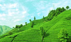 南山美丽的茶园高清摄影图片