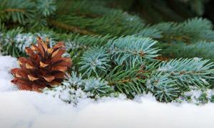 雪地上的青青树枝特写摄影高清图片