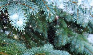 落有白雪的青树枝特写摄影高清图片