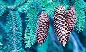 长出果实的云杉树特写摄影高清图片