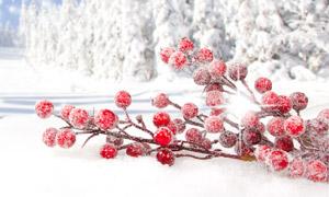 紅色果實與雪中的樹林攝影高清圖片