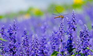 在薰衣草上栖息的蜻蜓摄影图片