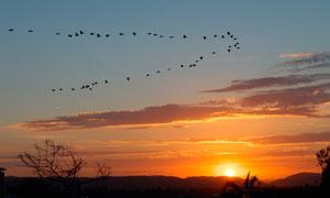 夕阳下飞行的大雁高清摄影图片