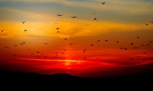 傍晚天空中飞翔的鸟群高清摄影图片