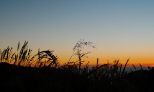 傍晚田间美丽的芦苇丛高清摄影图片