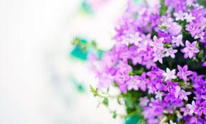 紫色盛开的小花朵高清摄影图片