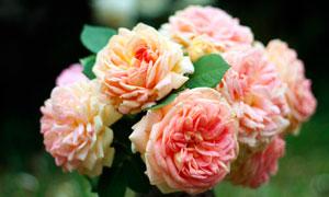 盛开的粉色茶花摄影图片