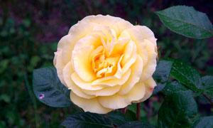 盛开的黄色玫瑰花高清摄影图片