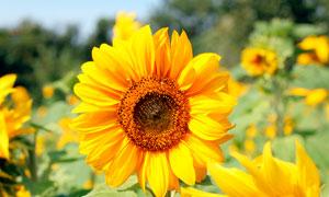 美丽的金色向日葵摄影图片