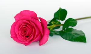 一束美丽的红色玫瑰花摄影图片