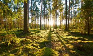 清晨阳光照射下的森林景观摄影图片