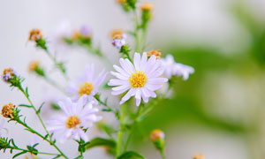 盛開的雛菊花朵和花枝攝影圖片