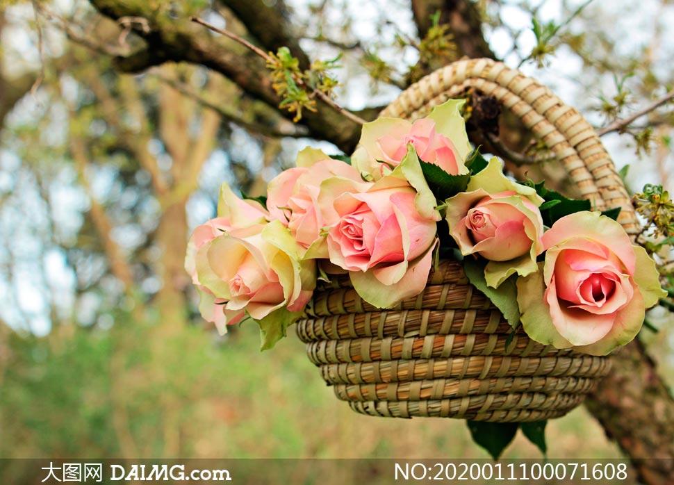挂在树上花篮中的玫瑰花摄影图片