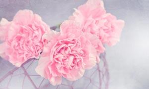 盛开的粉色康乃馨花朵摄影图片