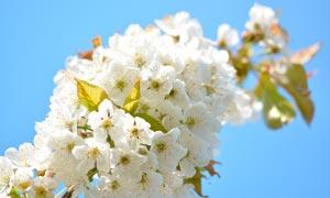 树枝上盛开的梨花摄影图片