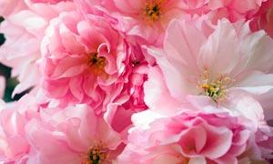 盛开的粉色樱花高清摄影图片