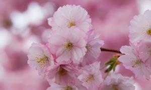 枝头上盛开的樱花高清摄影图片