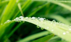 植物绿叶上晶莹剔透的水滴摄影图片