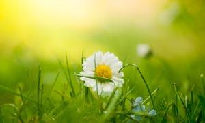 草丛中的白色菊花摄影图片