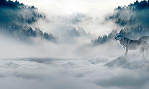 山腰云雾中的狼群高清摄影图片