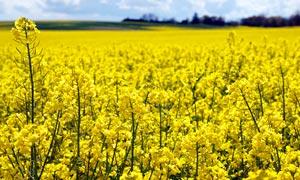 黄色的油菜花地近景摄影图片