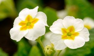 盛开的白色报春花高清摄影图片