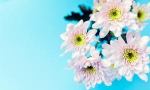 美丽的小雏菊高清摄影图片
