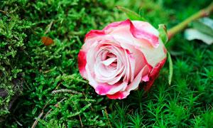 草丛上的白色玫瑰花高清摄影图片