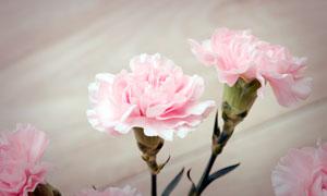 粉色盛开的康乃馨高清摄影图片
