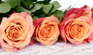 美丽的橙色玫瑰花枝摄影图片