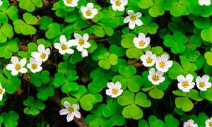 盛开的三叶草花朵摄影图片