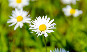 盛开的白色雏菊高清摄影图片