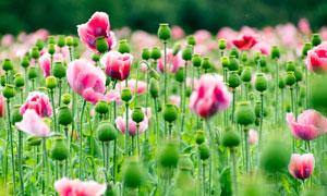 美丽的罂粟和罂粟花摄影图片
