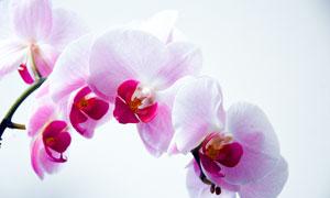 美丽的粉色蝴蝶兰花朵摄影图片