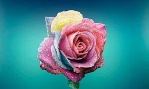 沾满水珠的彩色玫瑰花摄影图片