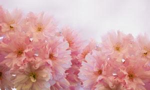 盛开的粉色康乃馨摄影图片