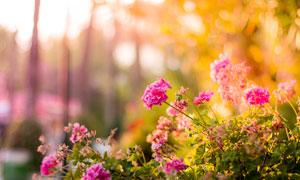 唯美的粉色月季花高清摄影图片