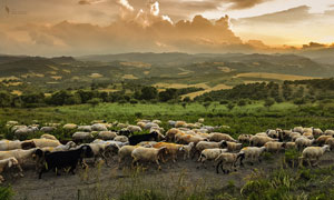 高原牧场中的羊群摄影图片